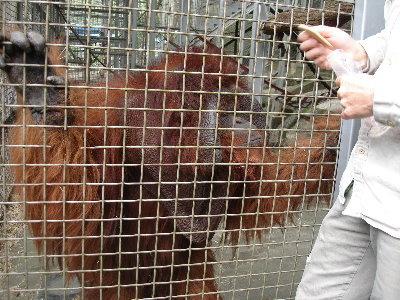 12 紅毛猩猩-阿勇.jpg