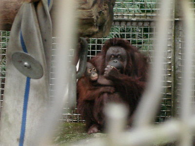 13 紅毛猩猩-小鬼頭+baby.jpg