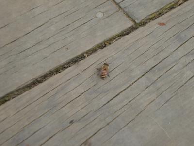26 蜜蜂.jpg