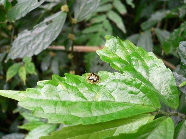 紹德龜金花蟲