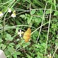 黑端豹紋蝶