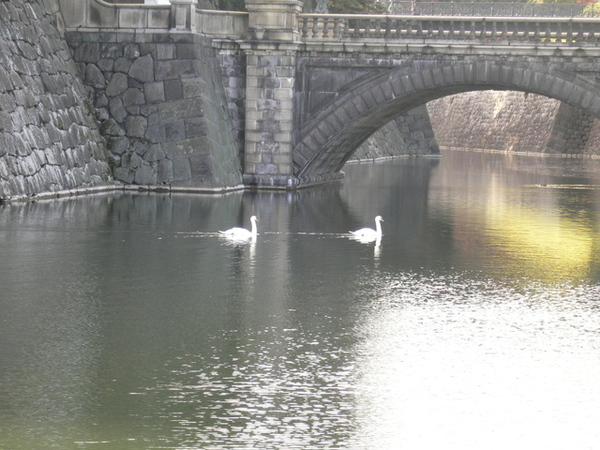 二重橋下兩隻悠閒的天鵝