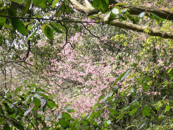 從樹叢望出去的櫻花