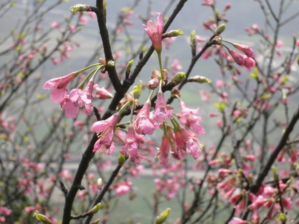 枝頭上的櫻花