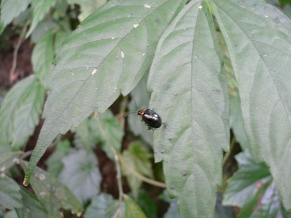 某某金花蟲
