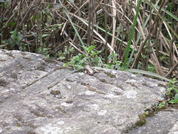 從草叢中探出頭來的石龍子
