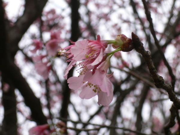櫻花開得很美哩!