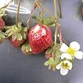 來摘好吃的草莓囉~