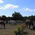 經過一個馬場,披白袍那匹還主動走向我哩!