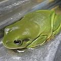 洗手台上的綠樹蛙