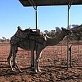 即將被我們騎乘的可憐駱駝