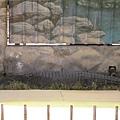 爬蟲動物中心裡的鱷魚