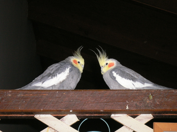 兩隻愛吵架的紅頰鸚鵡