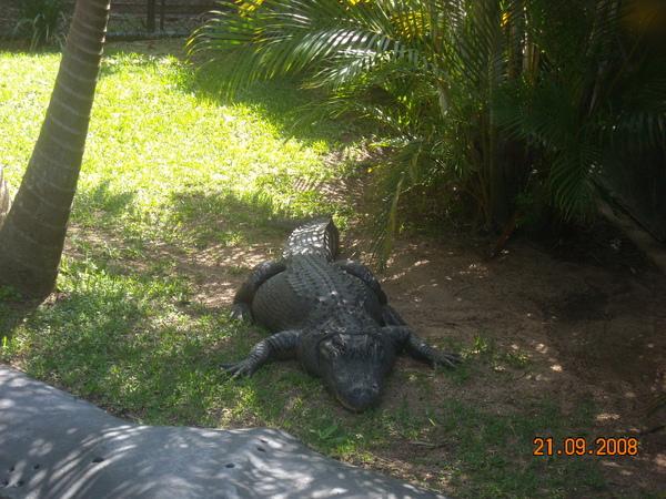 澳洲動物園裡的特產--鱷魚