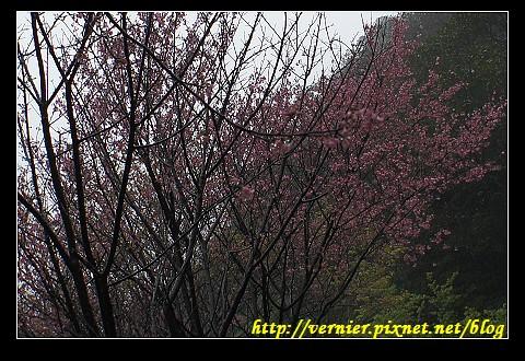 茂密的粉紅