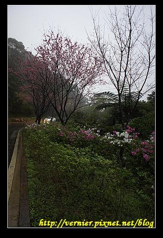 櫻花與杜鵑爭豔