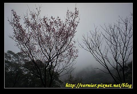 煙雨朦朧中的櫻花