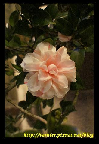 美麗的花1