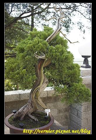 彎曲的姿態盆栽