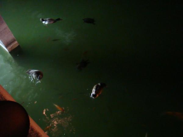很多隻烏龜
