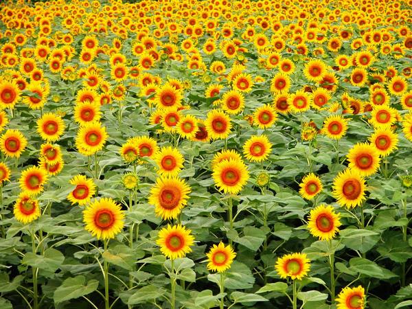 sunflower-04.jpg