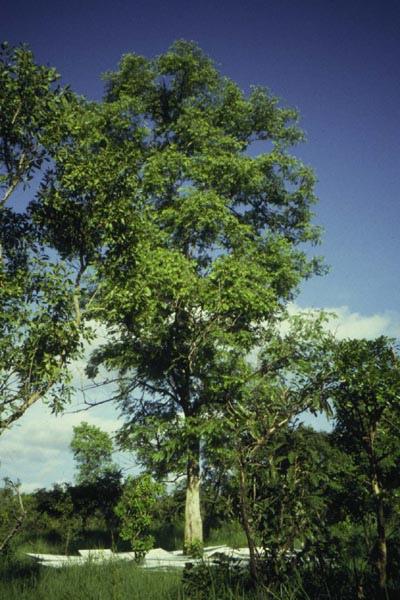 Anogeissus_leiocarpus.jpg