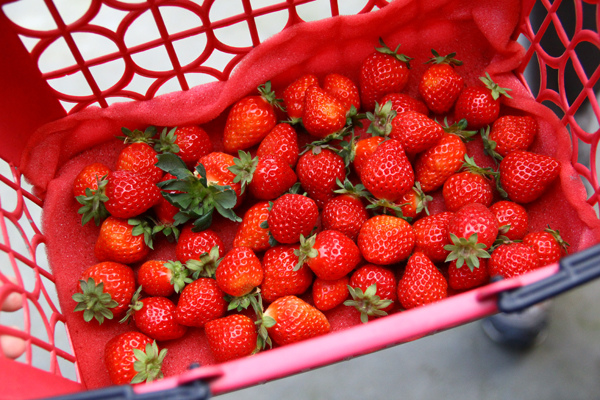 採草莓 (9).JPG