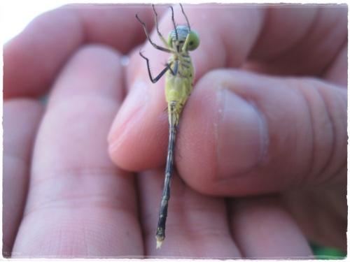 可憐ㄉ蜻蜓~終於拍完放生了
