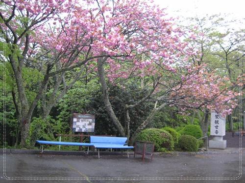 美美ㄉ櫻花