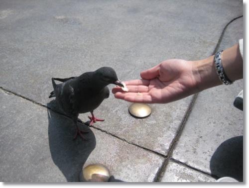 不怕生ㄉ鴿子