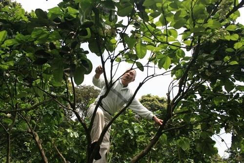 老爸在整理柚子樹