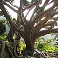 超大顆ㄉ樹