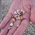 一堆小小貝殼