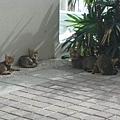 早起巧遇貓群^^