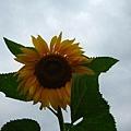 大大ㄉ向日葵~如果有藍天就更棒了