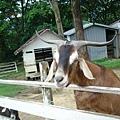 羊ㄉ眼睛看起來挺呆滯ㄉ吧!