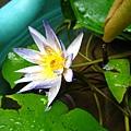 被大雨打垂了ㄉ蓮花
