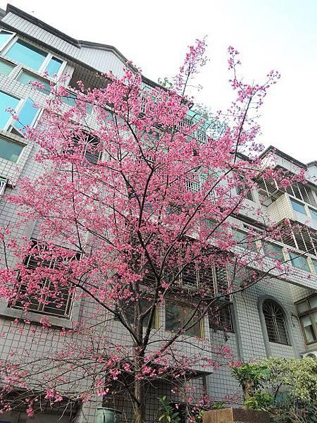 2013鄰居櫻花
