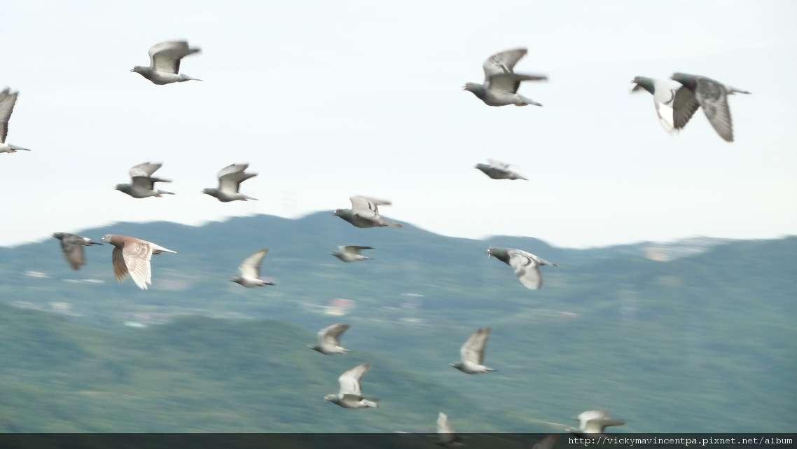 在悠靜的山中鴿群近距離飛過還聽得到翅膀拍動的聲音