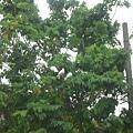 白鴿~白鴿~ (洗衣精背景音樂)