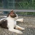 完全不怕生的小貓咪大喇喇的在路邊曬太陽
