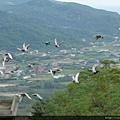 清晨一批批賽鴿從海上飛向陽明山區