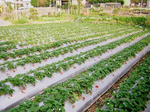 strawberry-2.jpg