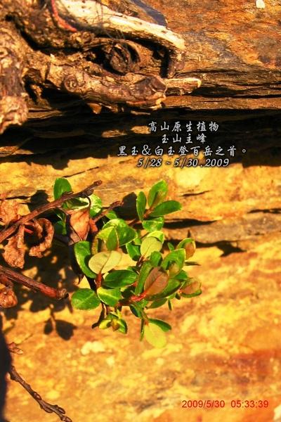 生長最高山的原生植物.jpg