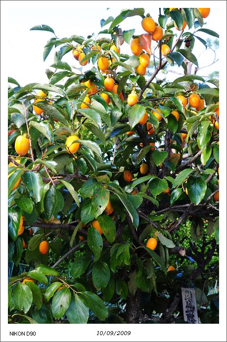 日本秋色02-許多居民種植柿子樹