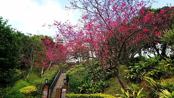 櫻之戚風-社區櫻花樹05.jpg