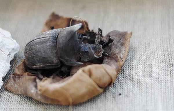 埃及政府宣布在開羅南方的薩卡拉墓葬群發現一批包含聖甲蟲、鱷魚及喵星人在內的動物木乃伊.jpg