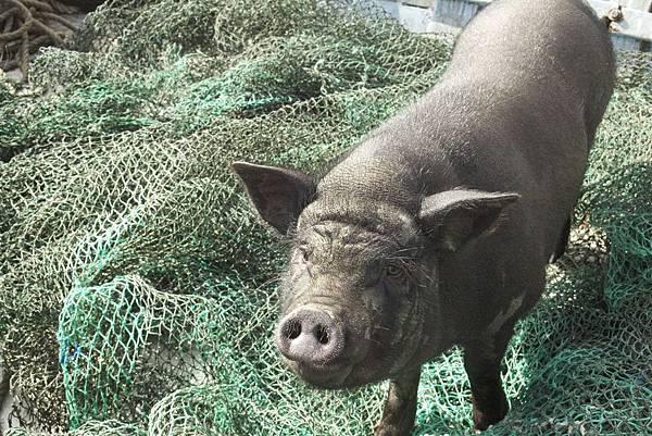 【天外飛來一隻豬】從天而降的小黑豬引來一連串爆笑情節