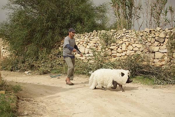 【天外飛來一隻豬】豬羊變色,讓網友在網路上熱烈討論大呼卡哇伊