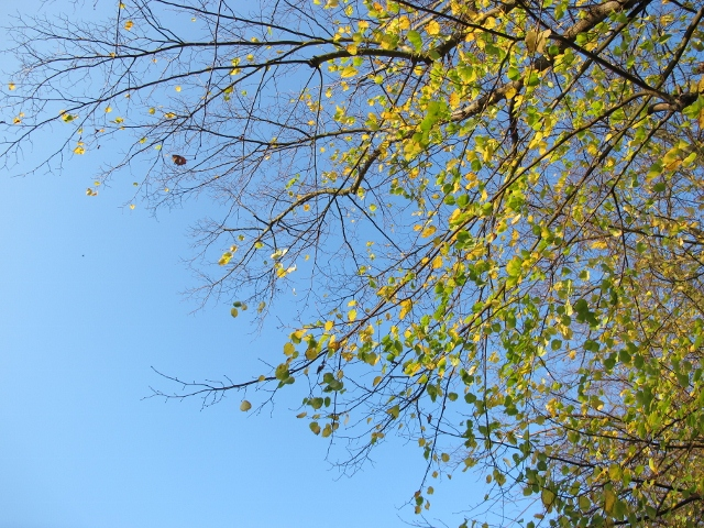 藍色的天空裡發光般的金黃色葉子